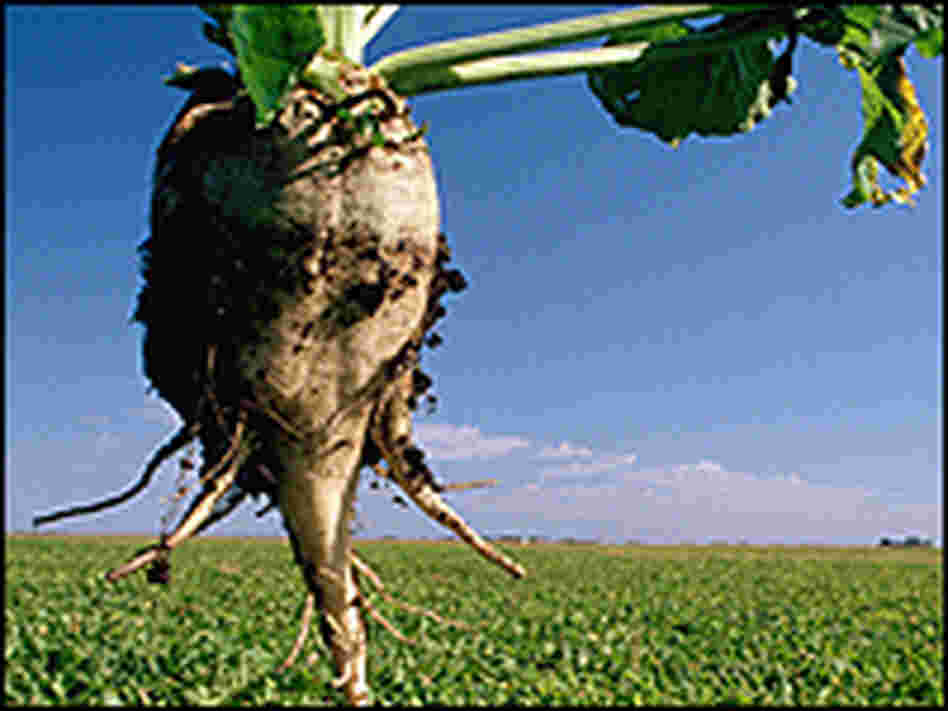 Sugar beet plant and field