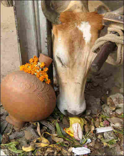 A cow eating garbage.