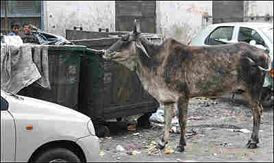 A cow near a garbage bin in India.
