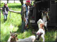 Goats bound out of trailer.