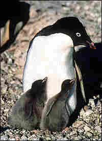 Adelie penguin and chicks at Cape Royds