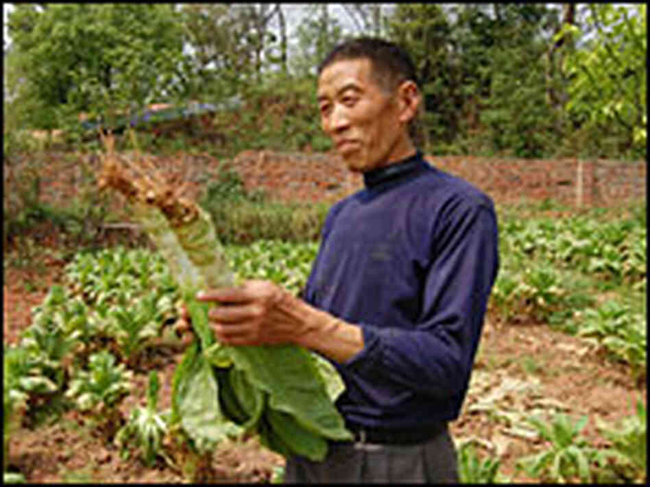 Worker on the organic farm with wosun