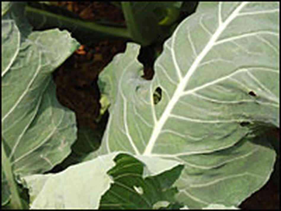 Customers of Luo's farm know to expect imperfect vegetables, such as cabbage with bug bites.