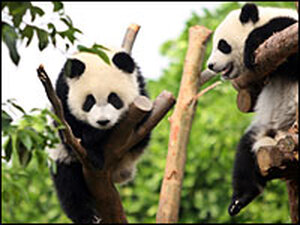 Pandas climb on wooden structures at the Chengdu Research Base of Giant Panda Breeding.