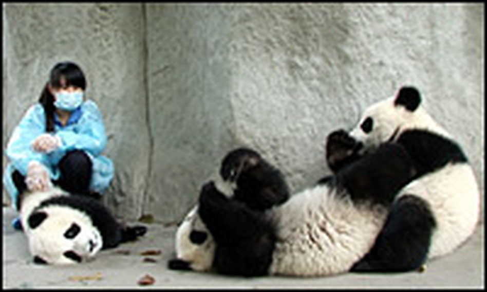 These pandas have lived their entire lives in captivity. Now, Beijing is pushing to have more of the creatures released into the wild.