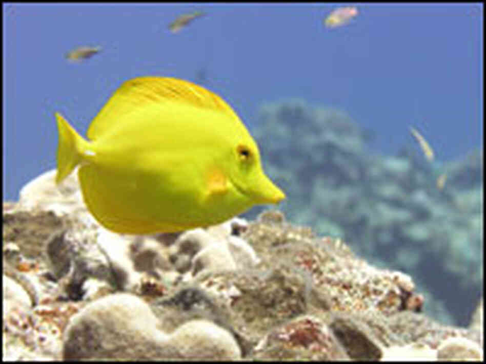 A yellow tang near the Northern Marianas Island of Maug.