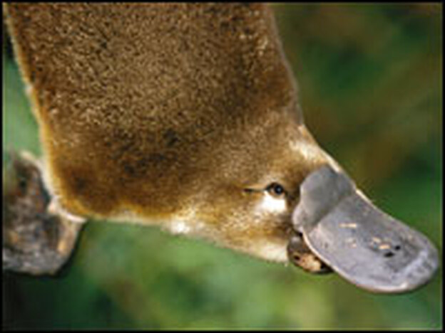 Platypus from elevated view.