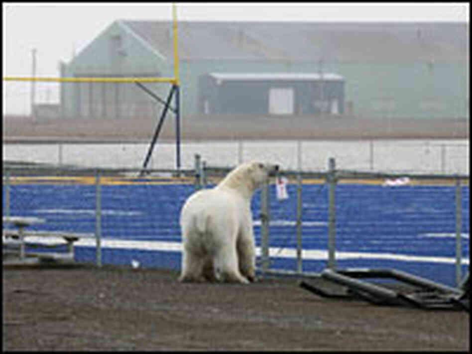polar bear wandered near the Barrow high school football field in ...