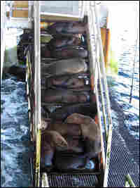 Sea lions on an oil platform.