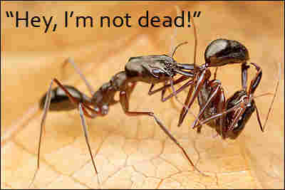 One ant carrying another ant