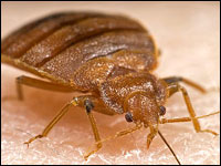 A bedbug sucks human blood.