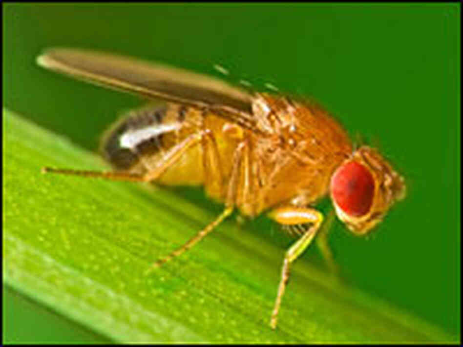 A common male fruit fly.