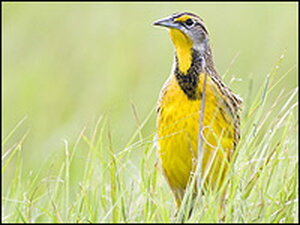 An Eastern meadowlark walks through a g