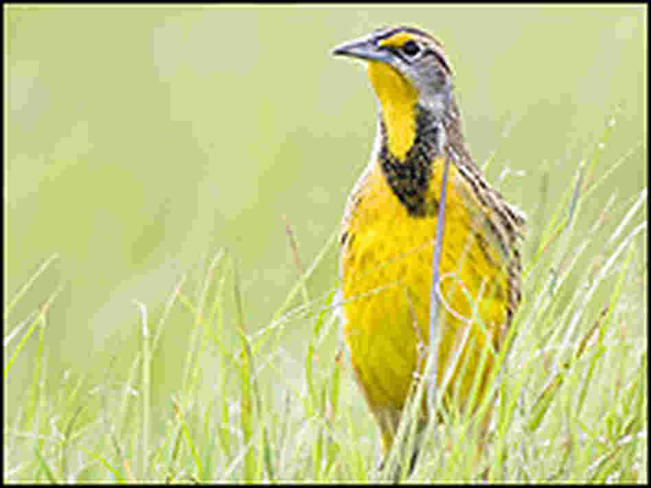 An Eastern meadowlark walks through a grassy field.
