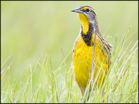 An eastern meadowlark, one of many threatened grassland species.