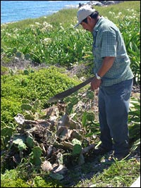 Workers cut down diseased nopal plants on Isla Mujeres to try and stop the spread of the moth