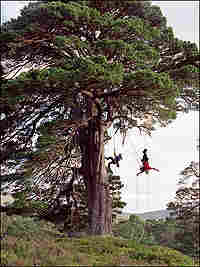 Richard Preston and his daughter climb a large pine.  Preston is hanging upside down from the tree.