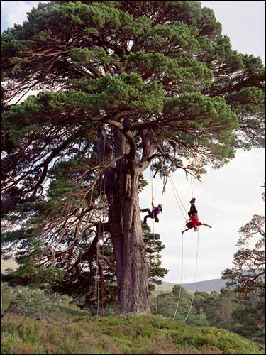 The author, Richard Preston, and his daughter climbing a three hundred year old Caledonia Pine in Scotland.  Photo by Robert Lewis