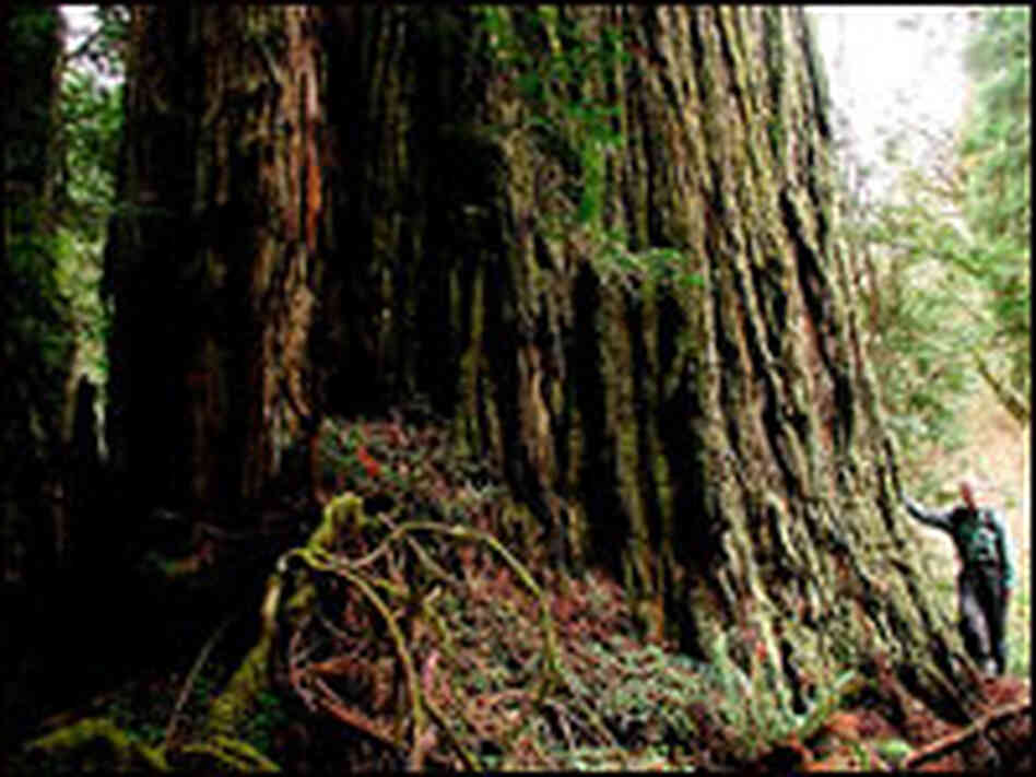 The wide trunk of the largest redwood on Earth.