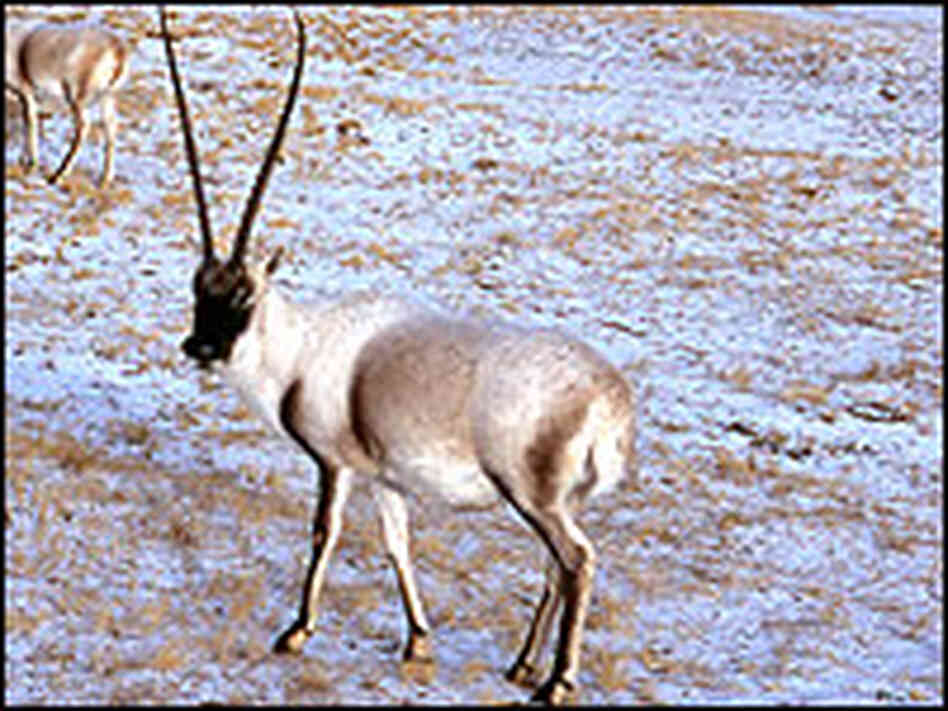 The Tibetan antelope