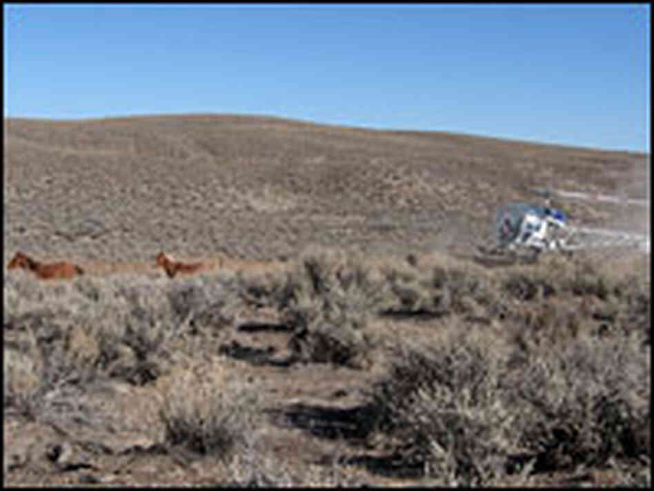 wild horse round up in nevada California and nevada have the highest wild horse and burro populations in the  nation  nelson used to round up wild horses for blm today.