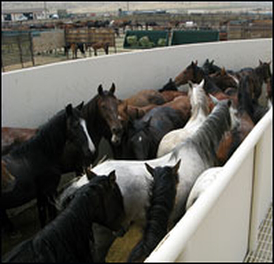 This steel-walled channel at one of BLM's adoption centers leads to a veterinarian station where horses will be vaccinated, de-wormed and branded.