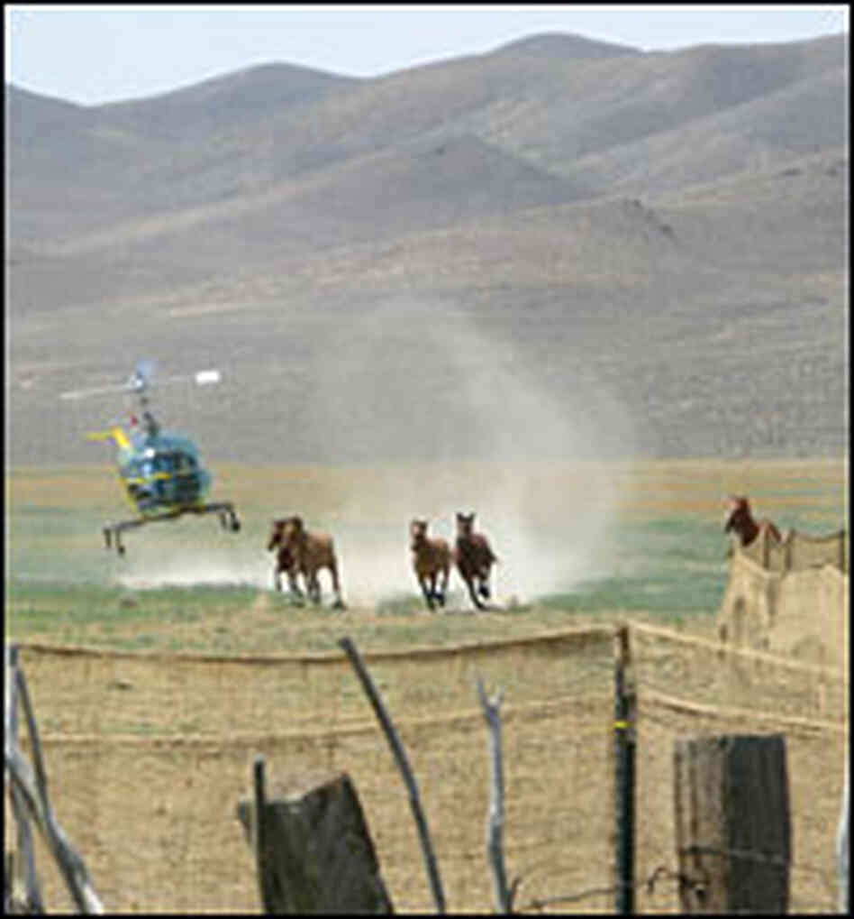 Chopper pilot herds wild horses into a trap.