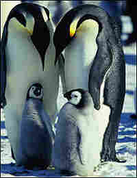 Two adult penguins shelter two chicks in a scene from 'March of the Penguins'