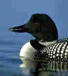A loon