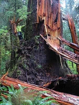 Ketzel Levine in a fallen Douglas fir.