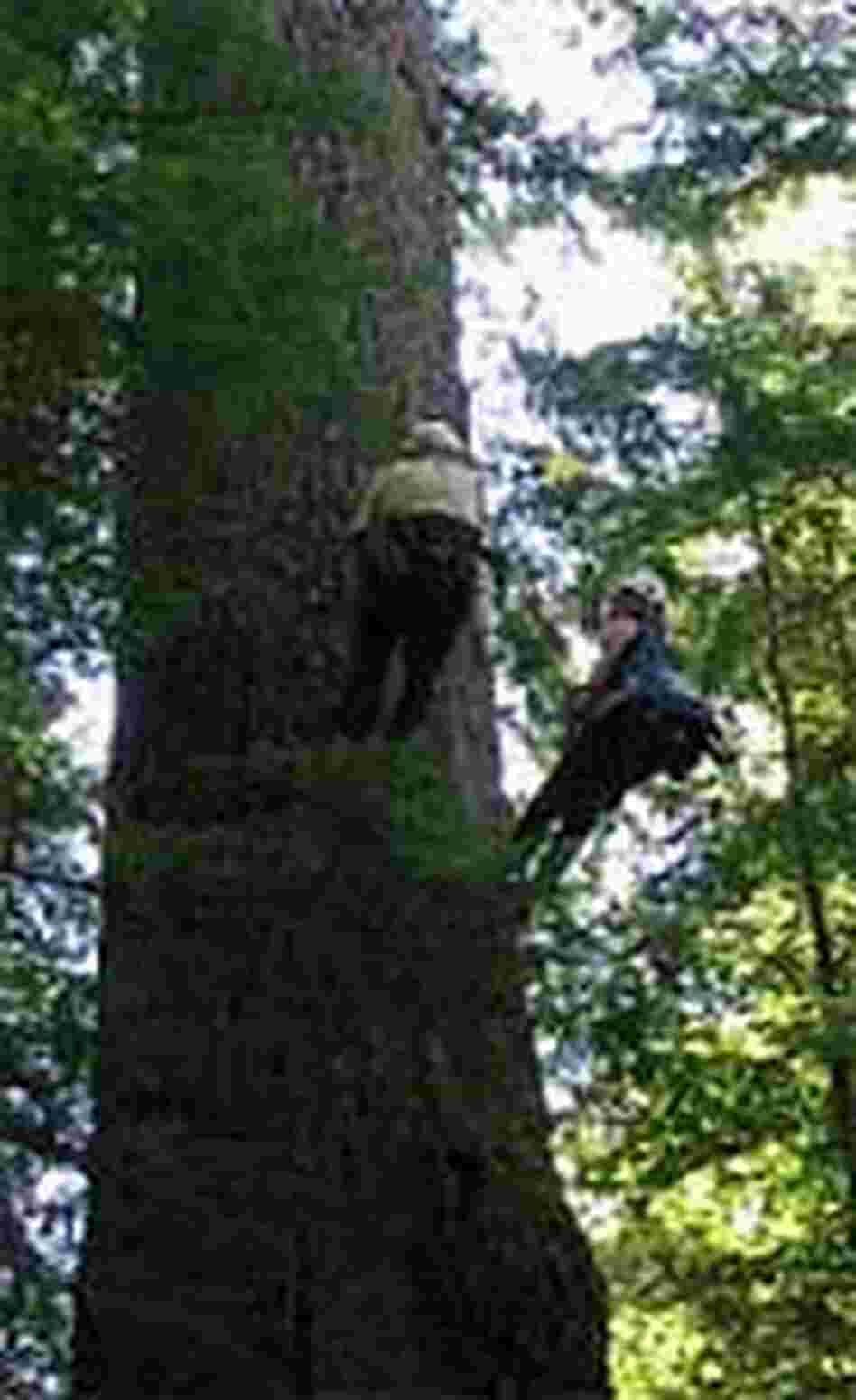 Scott Altenhoff, left, and NPR's Ketzel Levine climb a Douglas fir.