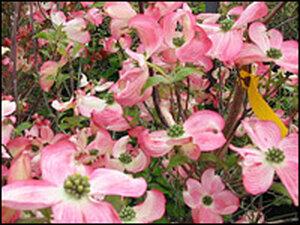 Pink 'Cornus florida' cultivars