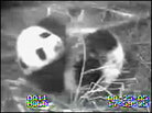 The National Zoo's male giant panda cub on August 25, 2005.