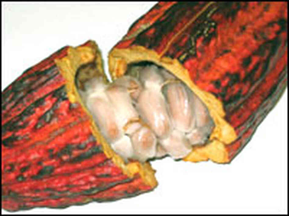 In a fresh cacao pod, seeds, wrapped in a sweet pulp, have a very bitter taste.
