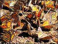 Monarch butterflies. NPR