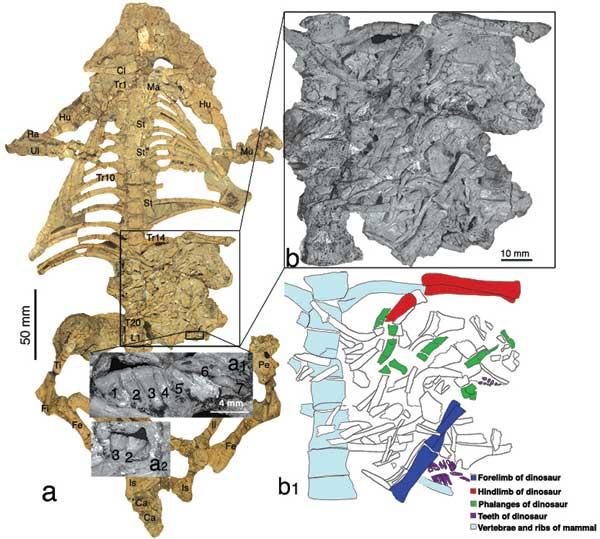 A detailed view of the Repenomamus skeleton and its stomach contents (the fossil's skull and jaw are not shown). Credit: American Museum of Natural History