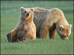 After 30 years of protected status, grizzly bears are about to come of the E
