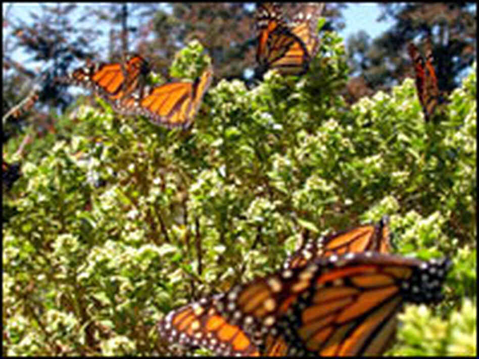 Monarchs rest in Valle Del Bravo, Mexico.