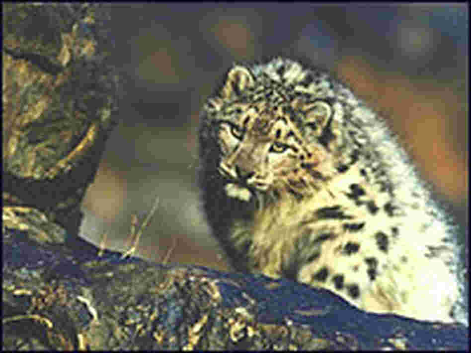 A snow leopard in Mongolia.