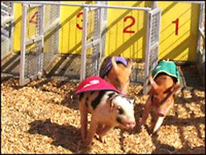 A pig race. Credit: Scott Horsley, NPR.