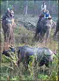 Hunters mounted on elephants encircle a greater one-horned rhino in Chitwan Park.