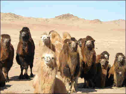 Camels gather around a well in the Gobi.