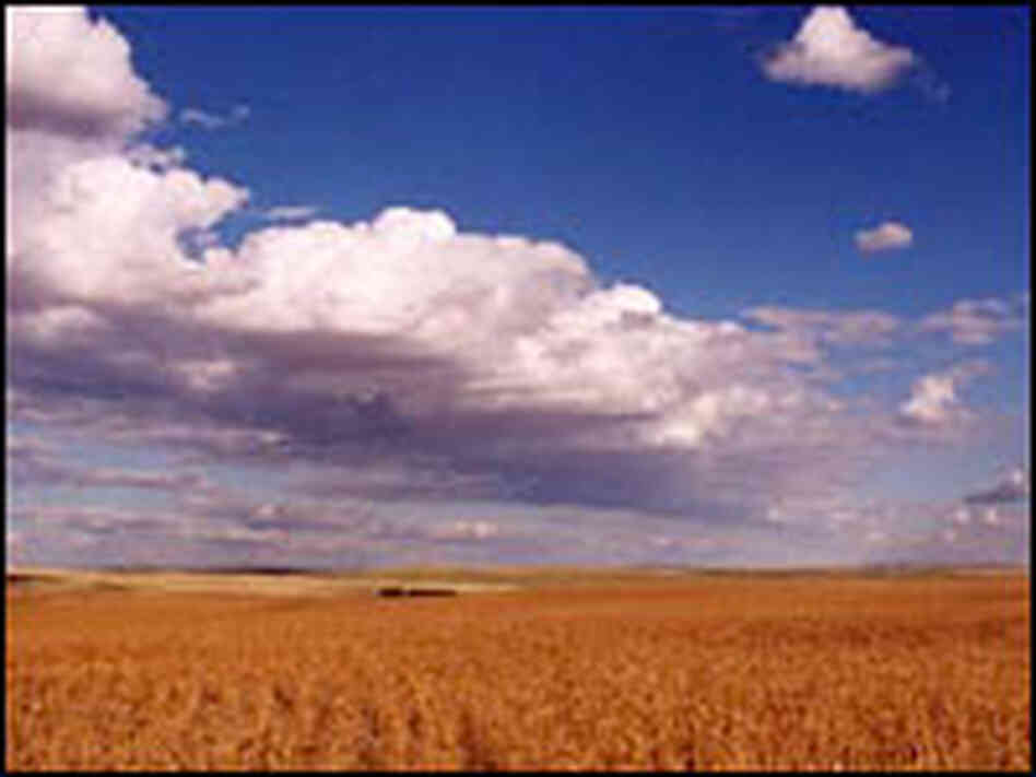 Wheat fields extend through the Waller family farm and cattle ranch in Circle, Mont.