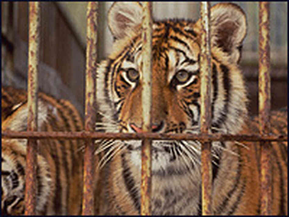 Tigers on a fur and tiger farm in China's Heilongjiang Province.