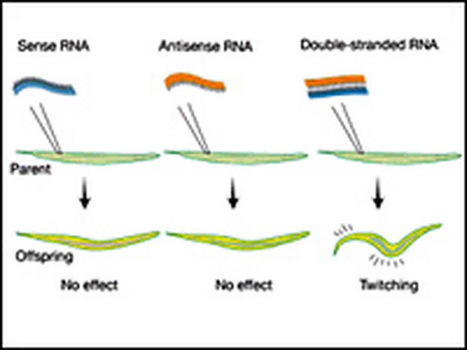 Detail from a graphic showing a basic test involving RNA.