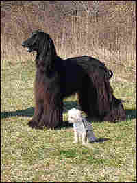 An large, black Afghan and a small, white Chihuahua stand side by side.