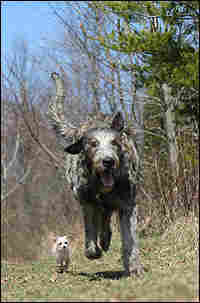 A large, gray Irish Wolfhound and a small, white Chihuahua run side by side.