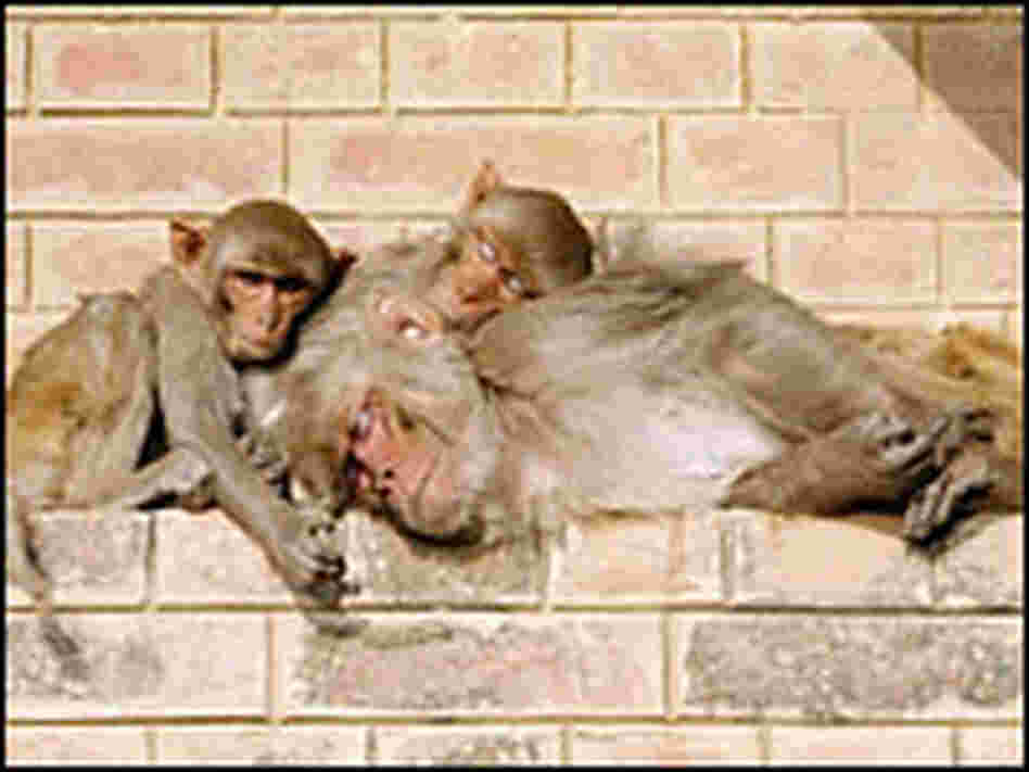 A family of monkeys doze in the early morning on the steps by the Ganges in Varanasi.