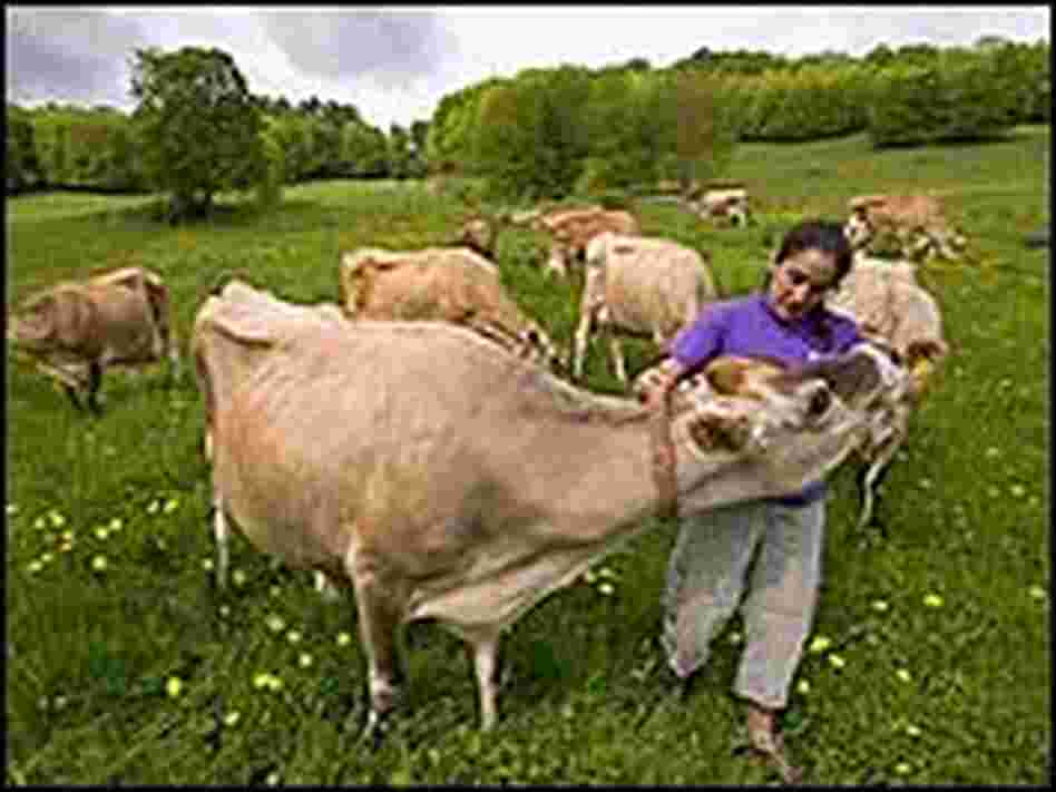 Janine Putnam pets one of her cows at Thistle Hill Farm.