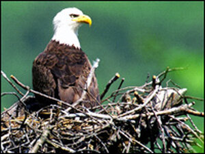 Bald eagles are no longer endangered. AP.